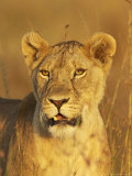 Lioness (Panthera Leo) Portrait in Late-Afternoon Light, Masai Mara National Reserve, Kenya Photographic Print by James Hager
