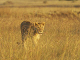Lioness (Panthera Leo) Walking Through Tall Grass, Masai Mara National Reserve, Kenya Photographic Print by James Hager