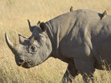 Black Rhinoceros or Hook-Lipped Rhinoceros with Yellow-Billed Oxpecker, Kenya, Africa Lmina fotogrfica por James Hager