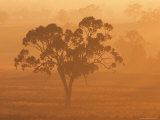 Eucalyptus Tree and Morning Fog, Carroll, New South Wales, Australia Photographic Print by Jochen Schlenker