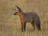 Bat-Eared Fox Standing in Early Morning Light, Masai Mara National Reserve, Kenya Photographic Print by James Hager