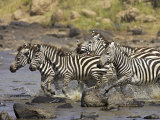Common Zebra or Burchell's Zebra Crossing Mara River, Masai Mara National Reserve, Kenya, Africa Photographic Print by James Hager