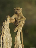 Young Male Olive Baboon Sitting Atop a Tree Trunk Looking at Camera, Samburu Game Reserve, Kenya Photographic Print by James Hager
