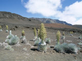 Silverswords, Growing in Vast Crater of Haleakala, Maui Photographic Print by Robert Francis