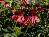 Echinacea, the Purple Coneflower, One of the Best Blood Purifiers Photographic Print by Aaron McCoy