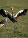 Grey Crowned Crane Dancing Next to Its Mate with Its Feet off the Ground and Wings Spread Photographic Print by James Hager