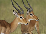 Two Male Impala with Bodies Facing Each Other, Serengeti National Park, East Africa Photographic Print by James Hager