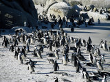 Penguins at Boulder Beach in Simon's Town, Near Cape Town, South Africa, Africa Reprodukcja zdjęcia autor Yadid Levy