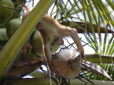 A Trained Monkey Picks Coconuts on Koh Samui, Thailand, Southeast Asia Photographic Print by Andrew Mcconnell