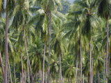 Coconut Palms, Koh Samui, Thailand, Southeast Asia Photographic Print by Andrew Mcconnell
