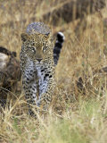 Leopard (Panthera Pardus) Approaching, Samburu Game Reserve, Kenya, East Africa, Africa Photographic Print by James Hager