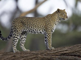 Leopard (Panthera Pardus) Standing on Log, Samburu Game Reserve, Kenya, East Africa, Africa Photographic Print by James Hager