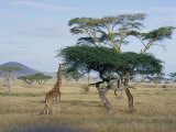 Giraffe, Serengeti National Park, Tanzania, East Africa, Africa Fotografisk tryk af Robert Francis
