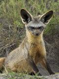 Bat-Eared Fox (Otocyon Megalotis) Sitting at Entrance to Den, Serengeti National Park, Tanzania Photographic Print by James Hager
