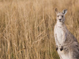 Eastern Grey Kangaroo, Kosciuszko National Park, New South Wales, Australia Photographic Print by Jochen Schlenker