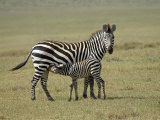 Grant's Zebra Nursing, Ngorongoro Crater, Tanzania Photographic Print by James Hager
