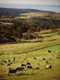 Sheep on Pastureland Near Cape Jervis, Fleurieu Peninsula, South Australia, Australia Photographic Print by Robert Francis