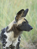 African Wild Dog (Lycaon Pictus), Pilanesberg National Park, South Africa, Africa Photographic Print by James Hager