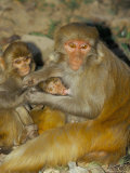 Family of Macaque Monkeys, Keoladeo Ghana National Park, Bharatpur, Rajasthan, India Photographic Print by Marco Simoni