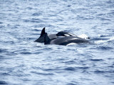 Family of Killer Whales at Surface off Tarifa Coast, Strait of Gibraltar, Costa De La Luz, Spain Photographic Print by Marco Simoni