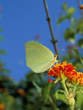 Brimstone Butterfly, Gonopteryx Rhan, and Orange Flower, Menorca (Minorca), Balearic Islands, Spain Photographie par Marco Simoni