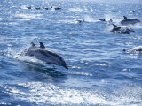 Group of Striped Dolphins Swimming, Strait of Gibraltar, Costa De La Luz, Spain Photographic Print by Marco Simoni
