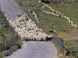 Herd of Sheep on Road, Mykonos, Cyclades Islands, Greece, Mediterranean Photographic Print by Marco Simoni