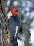 A Male Magellanic Woodpecker, Torres Del Paine National Park, Patagonia, Chile Photographic Print by Marco Simoni