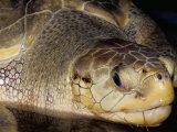 Head of Olive Ridley Sea Turtle (Leipidochelys Olivacea, Phuket Province, Thailand Photographic Print by Marco Simoni