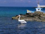 Pelican in Mykonos Harbour, Mykonos, Cyclades Islands, Greece, Mediterranean Photographie par Marco Simoni
