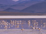 Flamingoes Feeding at Laguna Colorada, Reserva Nacional Eduardo Avaroa, Los Lipez, Andes Photographic Print by Marco Simoni
