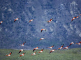 Chilean Flamingoes in Flight, Torres Del Paine National Park, Patagonia, Chile Photographic Print by Marco Simoni