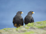 A Pair of Striated Caracara, Sea Lion Island, Falkland Islands, South Atlantic Photographic Print by Marco Simoni