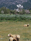 Sheep in a Field, Lassithi Plateau, Island of Crete, Greece, Mediterranean Photographic Print by Marco Simoni