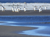 Gentoo Penguins (Pygocelis Papua Papua) Walking, Sea Lion Island, Falkland Islands, South Atlantic Photographic Print by Marco Simoni