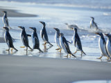 Gentoo Penguins Walking on the Beach, Sea Lion Island, Falkland Islands, South America Photographic Print by Marco Simoni