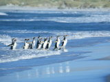 Gentoo Penguins Coming out of the Sea, Sea Lion Island, Falkland Islands, South America Photographic Print by Marco Simoni