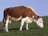 Hereford Cow Grazing on Hillside, Chalk Farm, Willingdon, East Sussex, England Photographic Print by Ian Griffiths