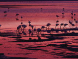 Flamingoes Feeding, Laguna Colorada at Sunset, Reserva Nacional Eduardo Avaroa, Los Lipez, Bolivia Photographic Print by Marco Simoni