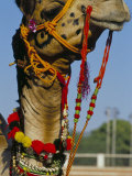 Camel Adorned with Colourful Tassels, Bikaner Desert Festival, Rajasthan State, India Photographic Print by Marco Simoni
