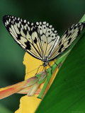 Idea Leuconoe Butterfly, Mariposario Del Drago, Icod De Los Vinos, Tenerife, Canary Islands, Spain Photographic Print by Marco Simoni