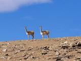Vicuna Near Laguna Colorado, Reserva Nacional Eduardo Avaroa, Los Lipez, Bolivia Photographic Print by Marco Simoni