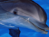Close-Up of a Dolphin, Loro Parque, Puerto De La Cruz, Tenerife, Canary Islands, Spain Photographic Print by Marco Simoni