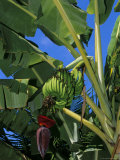 Bananas on Banana Plant, Barreirinhas, Lencois Maranhenses, Brazil, South America Photographic Print by Marco Simoni