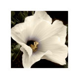 Hibiscus View Collectable Print by  Peterson