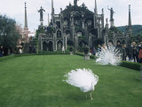 White Peacocks in Front of Folly, Isola Bella, Lake Maggiore, Piedmont, Italy Photographic Print by Sheila Terry