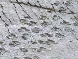 The World's Longest Dinosaur Tracks, Cretaceous Titanosaurus, Near Sucre, Bolivia, South America Photographic Print by Tony Waltham