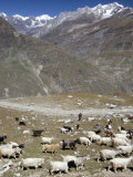 Shepherd and Flock, North of Manali, High Above Chenab Valley, Himachal Pradesh, India Photographic Print by Tony Waltham