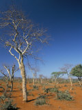Acacia Trees on Red Soils, Near Goba, Southern Highlands, Ethiopia, Africa Photographic Print by Tony Waltham