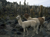 Llamas and Cacti, Inkahuasa Island, Salar De Uyuni, Bolivia, South America Photographic Print by Jane Sweeney